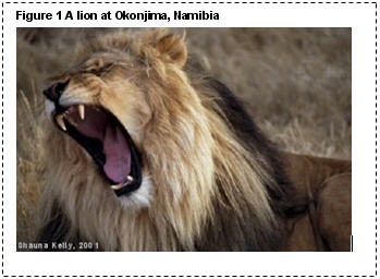 A picture of a lion that I took at Okonjima in Namibia in 2001. The picture is the full width of the page, and has a caption above it, reading 'Figure 1 A lion at Okonjima, Namibia'
