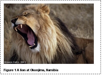 A picture of a lion that I took at Okonjima in Namibia in 2001. The picture is the full width of the page, and has a caption below it, reading 'Figure 1 A lion at Okonjima, Namibia'